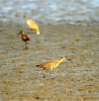 새들의 천국 안산-물닭,알락꼬리마도요,왜가리,중대백로,휜물때새(4.4)