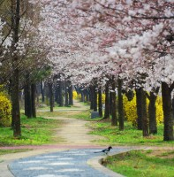 안산의 봄(벚꽃) 풍경(04.06)