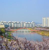 안산의 봄(벚꽃) 풍경(04.07)