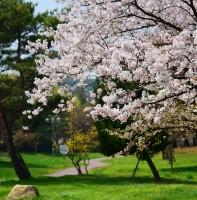 안산의 봄(벚꽃) 풍경(04.08)
