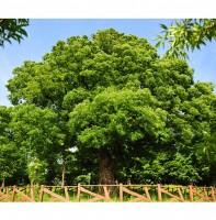 이동 보호수 조기나루 느티나무(05.21)