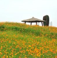 꽃풍의언덕에 핀 코스모스(8.3)