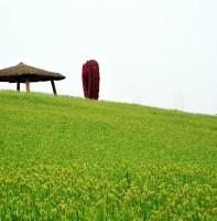 꽃풍의언덕 청보리밭.(05.19)