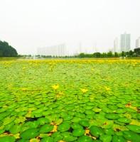 호수공원 노랑어리연꽃(2010.06.18)