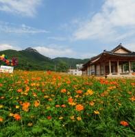 안산읍성 코스모스동산(07.21)